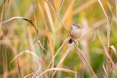 Cisticole des joncs (Fabien Serres) Tags: cisticolajuncidis cisticoledesjoncs cisticolidés oiseau passériformes zittingcisticola bird