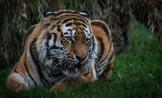 The Land of the Tiger (Panthera tigris altaica)