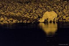 White rhino at Okaukuejo Waterhole (NettyA) Tags: 2017 africa etoshanationalpark namibia okaukuejowaterhole sonya7r night reflection rhino safari waterhole wildlife water whiterhino rhinoceros