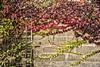 Trellis (PAJ880) Tags: wal trellis vines suffolk england uk