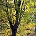 Autumn Glory (magaroonie) Tags: autumn colour tree mortonlochs fife