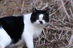 猫さん a Cat (takapata) Tags: sony sel90m28g ilce7m2 cat neko 猫さん