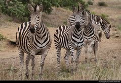 Zebras, Kruger NP, South Africa (JH_1982) Tags: zebra zebras cebra zèbre 斑馬 シマウマ 얼룩말 зебры animal wildlife nature tier herd kruger np national park krugernationalpark parque nacional parc nazionale 克留格爾國家公園 クルーガー国立公園 национальный парк крюгера south africa rsa za südafrika sudáfrica afrique sud sudafrica 南非 南アフリカ共和国 남아프리카 공화국 южноафриканская республика جنوب أفريقيا