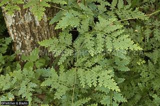 40838 The fern-like clubmoss Selaginella willdenowii in coastal lowland rainforest, Vale Eco Centre, Teluk Batik, Lumut, Perak, Malaysia.