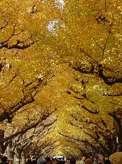 Tokyo - Ginkgo Avenue (fb81) Tags: japan tokyo ginkgo avenue yellow tree autumn fall koyo momiji