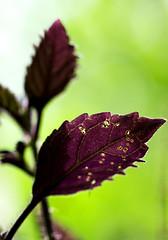 Just a leaf (Jutta Sund) Tags: leaf purple dof veins nature closeup