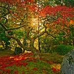 Early Morning Autumn Maple 4640 B thumbnail