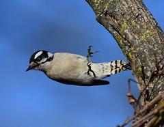 0382=Downy-Letting Go-Explored (laurie.mccarty) Tags: downy woodpecker avian animal sky bird tree wildlife outdoor nature nikon