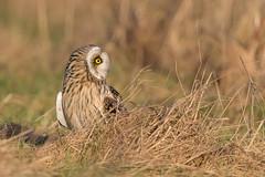 A real Beauty (eric-d at gmx.net) Tags: shortearedowl owl sumpfohreule eule asioflammeus eric naturepicturede ngc birdofprey vogel strigidae