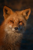 At First Glance (Kathy Macpherson Baca) Tags: animal animals earth nature fox vixen vulpes sunset beach wildlife planet world mammal carnivore hunt canine fur telephoto wild red