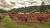 Red Leaves of Autumn (allentimothy1947) Tags: california hwy12 kenwood places sonomacounty landscape sonomavalley vines vineyards