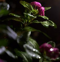 _MG_2878.CR2 (jalexartis) Tags: vinca bloom blooms flower flowers night nightphotography nightshots lighting camranger rain raincover diy