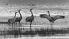 Sandhill Cranes (Laura Macky) Tags: birds sandhillcranes lodi wildlife