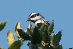 DSC_5630.jpg Black-throated Gray Warbler, Schwan Lake (ldjaffe) Tags: schwanlake blackthoatedgraywarbler