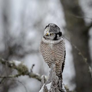 Northern Hawk Owl-45955.jpg