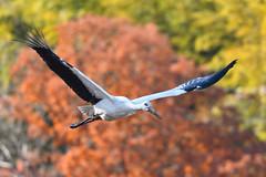 コウノトリ  Oriental stork (myu-myu) Tags: nature bird orientalstork ciconiaboyciana nikon d500 野鳥 コウノトリ japan
