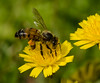 The gatherer (m&em2009) Tags: bee insect macro close up nature flower yellow nikon 60mm pollen