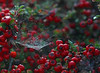 Red Berries &  Spider Web (1selecta) Tags: berries red green white black foilage spiderweb web cobweb nature natural rain water waterdrop waterdroplets liquid wet outside outdoors