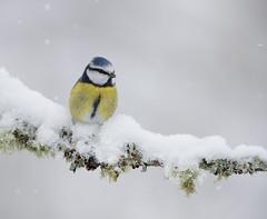 Blue tit (Andy Davis Photography) Tags: cyanistescaeruleus titwtomoslas bluetit perch sunny rain windy reed lichen canon wfs1718 bird tree macro snow ice