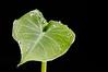 Elephantine (APJBabin) Tags: elephant ear leaf macro wet water drop