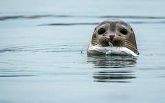 Seal Pup. (Jez Nunn) Tags: commonsealpupnaturewildlifefishcatch