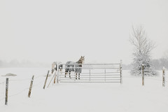 Winter Feel (NCExplore) Tags: snowstorm snow photography horse snowing park cold winter christmas fence tree trees x100f fuji fujifilm card flakes uk unitedkingdom fun sandwell west bromwich happy
