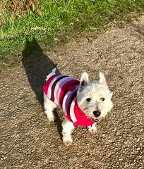 Samson in the winter sun (Artybee) Tags: sunshine westie samson winter dog sweater terrier westitude west highland white
