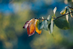 especially in the Autumn V (culuthilwen) Tags: sonyalpha230 vintagelens helios helios44m helios44m6 sonysti 58mm f2 m42 bokeh autumn fall leaves foliage nature dof light blurry orange green gold