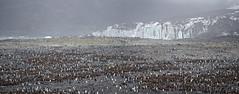 South Georgia (richard.mcmanus.) Tags: south georgia southgeorgia standrewsbay subantarcticislands panorama kingpenguins glacier mcmanus antarctica penguins birds chicks awesome