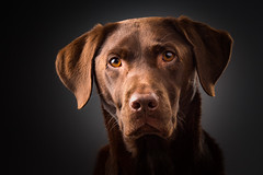 Ziggy (Greig Reid) Tags: horizontalformat flashlighting softbox color lens greigreidphotography image photoshop canon colour 5d indoors picture pet greybackground graybackground eos choclab photo chocolate diffused face flash labradorretriever eyes camera greigreid landscapeformat ears prime indoor labrador portrait godox photograph ziggy cute octabox nose lab dog chocolatelabrador handsome family ad200 lightroom ad600b