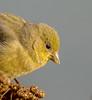 Hello Goldie. (Omygodtom) Tags: wildlife wild bird goldfinch retrato blur outside sunshine yellow golden gold nikkor nature nikon dof d7100 bokeh nikon70300mmvrlens migrate