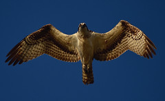 Osprey (Hollingsworth18) Tags: