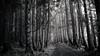 . (p_v a l d i v i e s o) Tags: 169 24105mm 5d3 azores açores canon5d canon5dmk3 canonef24105mmf4lisusm canoneos5dmarkiii ef24105mmf4 forest ilhadaterceira serradesantabarbara terceiraisland bw blackandwhite forestpath mistériosnegros monochrome monocromatico monocromatique monocromático terceira woodlands