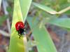 Carrosserie flambant neuve :-) (jean-daniel david) Tags: chrysomèle chrysomèledupeuplier insecte insectevolant rouge noir vert verdure closeup nature bokeh