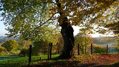 Colour Explosion (Daphne-8) Tags: autumn herbst colours farben tree baum arbre arbole otoño autumne otonho november colores kleuren boom herfst