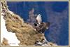 Gypaète posé 171026-05-P (paul.vetter) Tags: oiseau ornithologie ornithology faune animal bird gypaètebarbu gypaetusbarbatus bartgeier quebrantahuesos beardedvulture vautour rapace