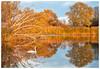 Lumière du couchant (Pascale_seg) Tags: paysage landscape river riverscape étang reflet reflection soir soleil coucherdesoleil lumière light orange calme calm quiet quiétude automne autumn tree roseaux cygne swan