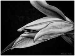 Profile of a Lily - Perfil de un Lirio (claudiov958) Tags: biancoenero blackwhite blancoynegro černýabílý claudiovaldés czarnyibiały flor flower mediumformat mediumformatcamera mediumformatdigital noiretblanc pentax645z pretoebranco schwarzundweiss studio tabletop черноеибелое pentaxart lirio lily lilium smcpentaxa645120mmf4macro
