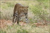 Sri Lankan leopard (Panthera pardus kotiya) @ Lunugamvehera National Park / Yala Block 5 (GaurikaW) Tags: gau gaurika gaurikaw srilankan leopard pantheraparduskotiya lunugamveheranationalpark yala block 5|