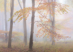 Autumn Beeches (Stuart_East) Tags: wood fog mist sussex autumn beech leaves forest south downs