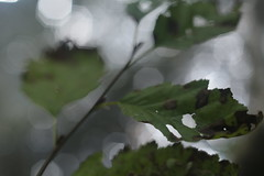 Union Creek (Tony Pulokas) Tags: creek stream unioncreek rogueriver forest oldgrowth autumn fall leaf alder tree tilt blur bokeh oregon