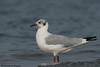 Brown Headed Gull (pradeepkumar.devadoss) Tags: brownheadedgull