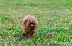 Run Sicily, Run! (tquist24) Tags: cavapoo goshen indiana nikon nikond5300 sicily cute dog fast geotagged grass joy lawn puppy run running unitedstates action