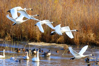 tundra swans flying near Brownsville MN 854A5404