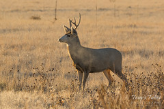 Nice looking young Mule Deer