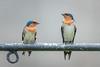 A pair of Pacific Swallows (BP Chua) Tags: bird nature wild wildlife animal pair couple two chinese gardens singapore nikon d750 600mm