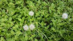 Flor dente de leão  //  Dandelion flower (J. Garcia Dias) Tags: grama flor planta verde branco white green natureza nature