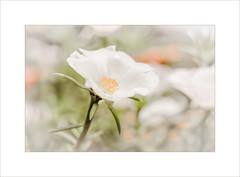 Chasing Light ~ (FLGalleria) Tags: canon flowers bokeh white macro pastel soft sunshine colors focus magicunicornverybest stilllife ie