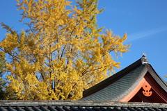 Autumn in Kyoto (Teruhide Tomori) Tags: japan japon kyoto toji temple architecture construction pagoda garden autumn yellow ginkgo 京都 日本 秋 イチョウ 寺院 教王護国寺