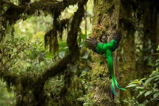 Resplendent Quetzal (Pharomachrus mocinno) feeding chick in nest